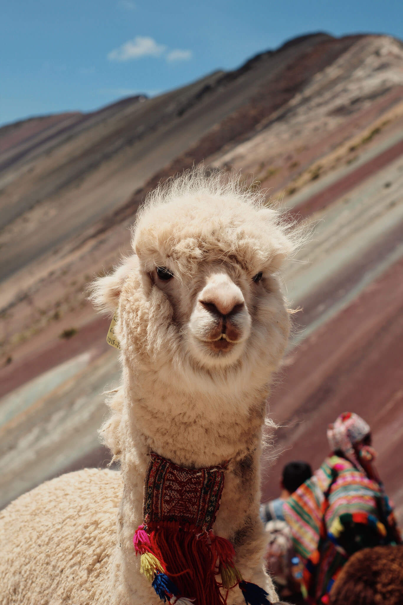 peru-llamas-alpacas-ovejas